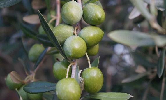 olio olive keys 570
