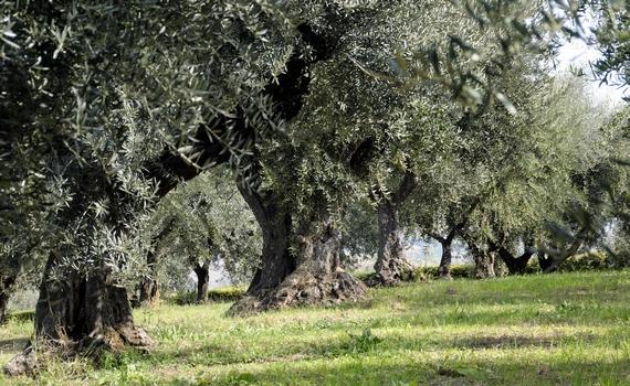 olio oliveto keys 570