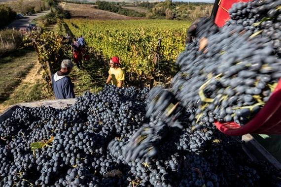 raccola uva donne vino 570