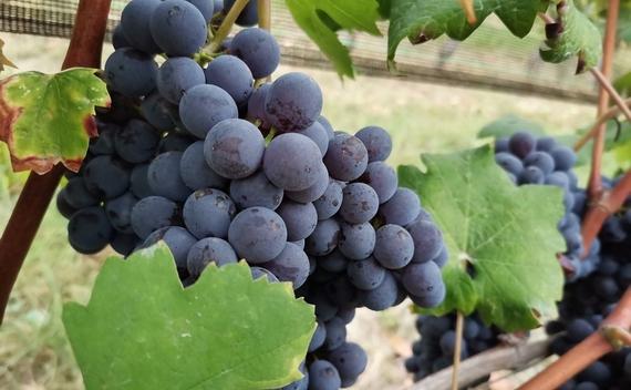 uva barolo citta vino 2021 570