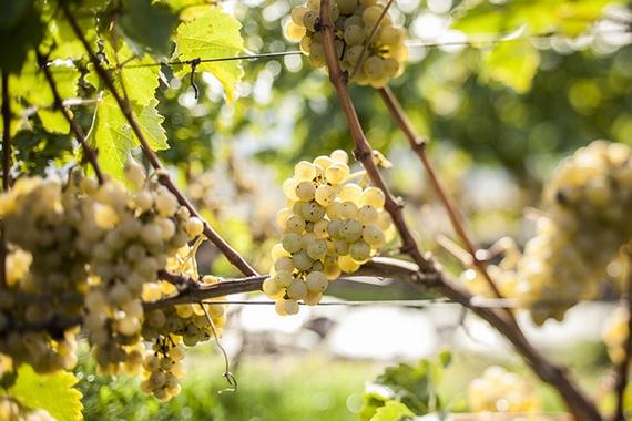 Uva Pinot Bianco alto adige 570
