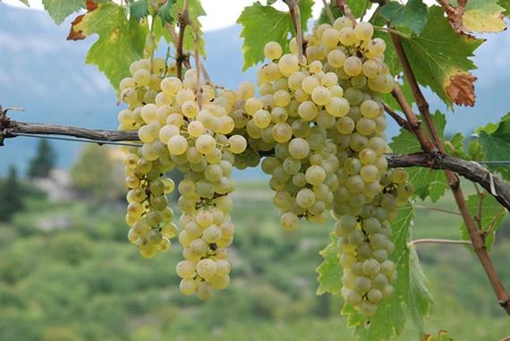 vitigno bacca bianca 570
